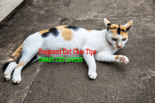 pregnant cat care tips