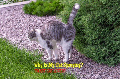 why is my cat spraying