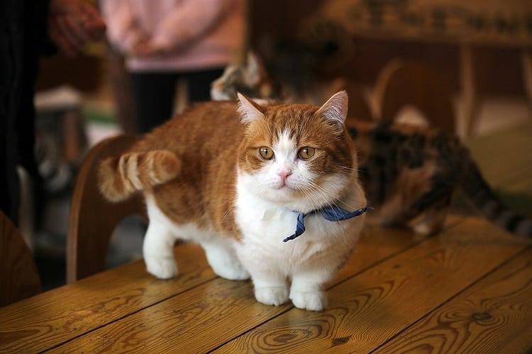 Flat Faced Cat - Munchkin Cat