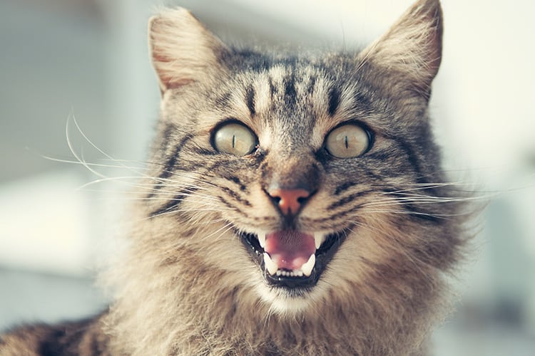 cat-with-mouth-open