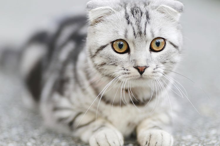 skin-conditions-for-cats