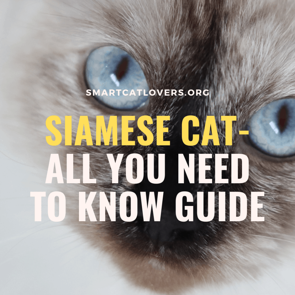 Siamese Cat- All You Need To Know Guide
