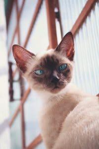Are Siamese cats aggressive?