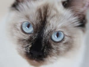 Do all Siamese have blue eyes?